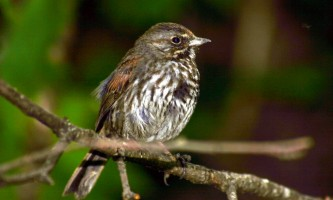 Alaska species birds fox sparrow