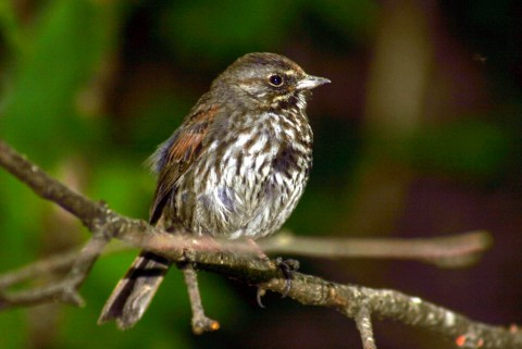 Alaska species birds fox sparrow