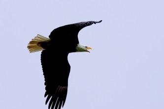 Alaska species birds Baldeagle flight call