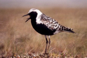 Alaska species birds black bellied plover