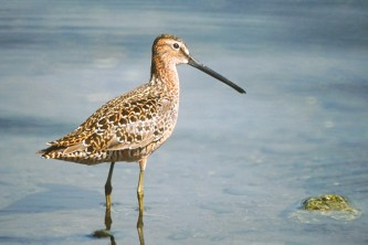 Alaska species birds long billed dowitcher