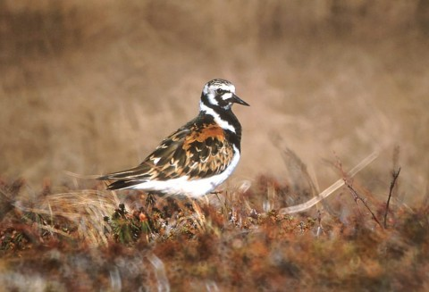 Alaska species birds FWS Tim Bowman ruddyturnstone