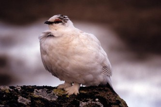 Alaska species birds rock ptarmigan