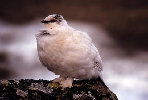Alaska species birds rock ptarmigan
