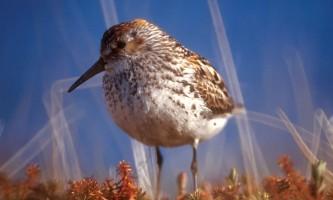Alaska species birds western sandpiper