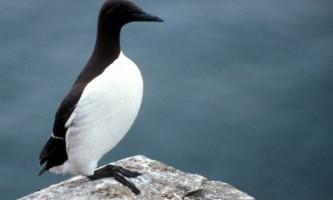 Alaska species birds common murre