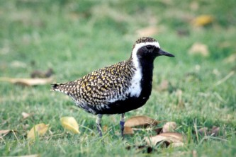 Alaska species birds pacific golden plover