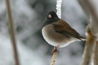 Alaska species birds Dark Eyed Junco
