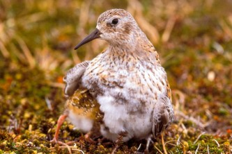 Alaska species birds least sandpiper