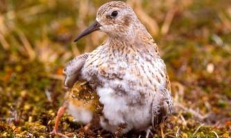 Alaska species birds least sandpiper