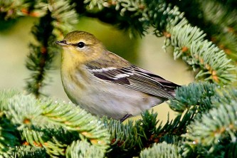 Alaska species birds FWS Donna Dewhurst blackpollwarbler