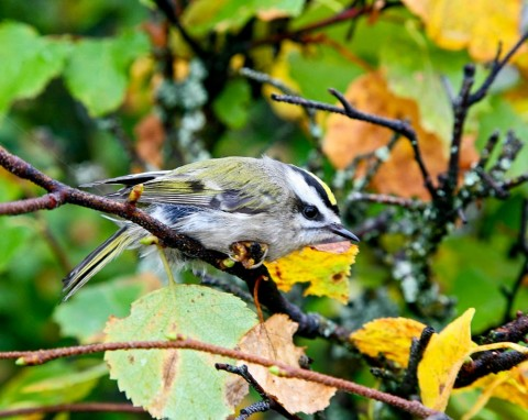 Alaska species birds FWS Donna Dewhurst golden crownedkinglet