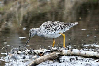 Alaska species birds FWS Donna Dewhurst greateryellowlegs
