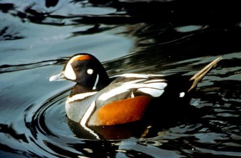 Alaska species birds FWS Glen Smart harlequinduck