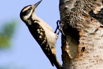 Alaska species birds FWS Donna Dewhurst Hairy Woodpecker