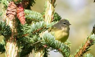 Alaska species birds FWS Donna Dewhurst orangecrownedwarbler
