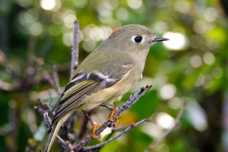 Alaska species birds ruby crowned kinglet 2