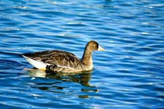 Alaska species birds greater white fronted goose