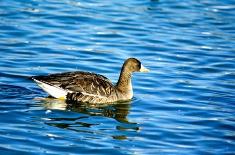 Alaska species birds greater white fronted goose