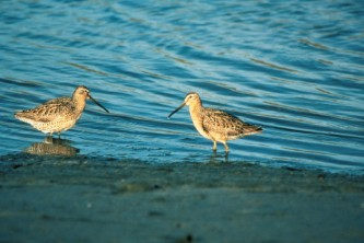 Alaska species birds short billed dowitcher
