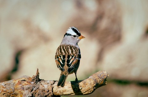 Alaska species birds white crowned sparrow