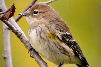 Alaska species birds yellow rumped warbler