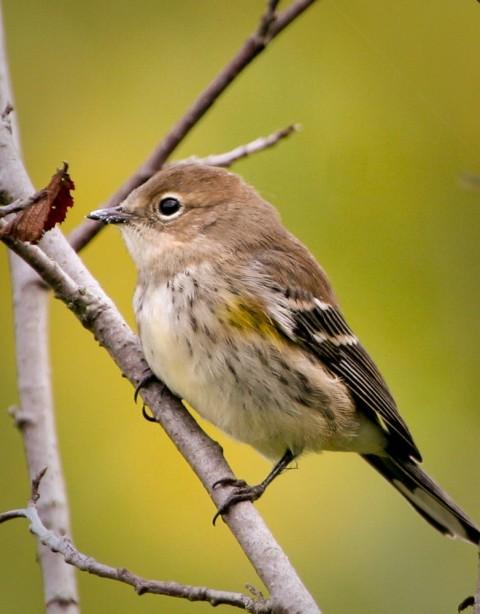 Alaska species birds yellow rumped warbler