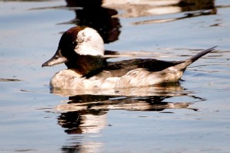 Alaska species birds bufflehead