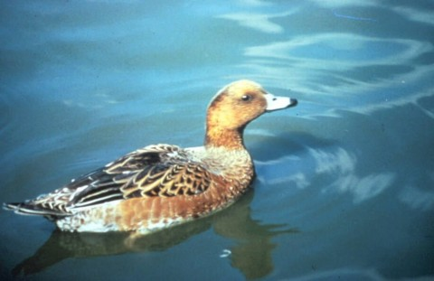 Alaska species birds Eurasian wigeon
