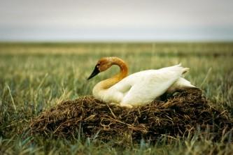 Alaska species birds tundra swan on nest