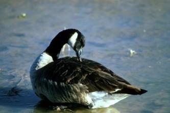 Alaska species birds canada goose