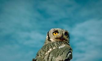 Alaska species birds western screech owl