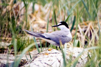 Alaska species birds Aleutian Tern on log Pt Moller R Gill med