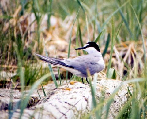Alaska species birds Aleutian Tern on log Pt Moller R Gill med