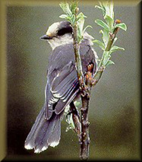 Alaska species birds gray jay