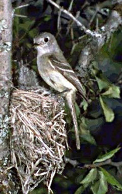 Alaska species birds alder flycatcher