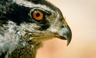 Alaska species birds goshawk2