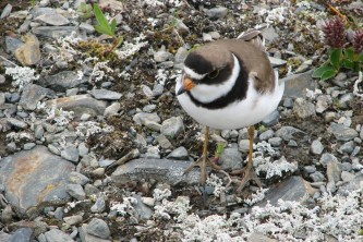 Alaska species birds Semi Palmated Plover
