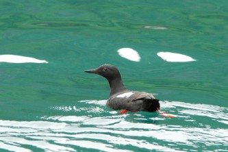 Alaska species birds guillemot pigeon 1078