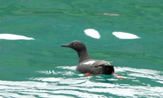 Alaska species birds guillemot pigeon 1078