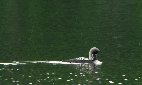 Alaska species birds Pacific Loon 3 2109