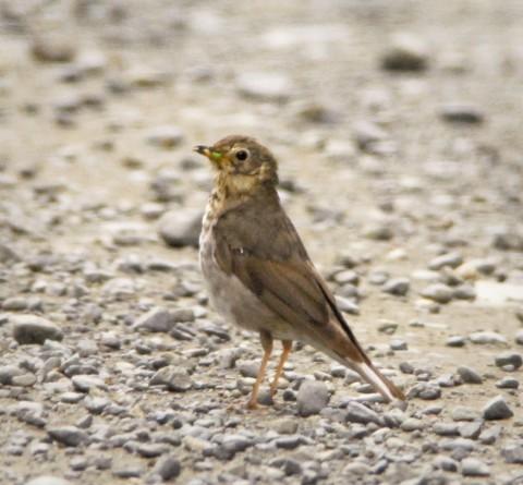 Alaska species birds swainsons thrush juv 2134