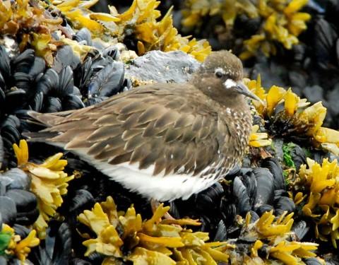 Alaska species birds Black Turnstones 2405 2