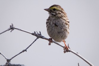 Alaska species birds Savannah Sparrow 2505