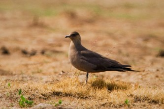 Alaska species birds Parasitic Jaeger AK 3 2620