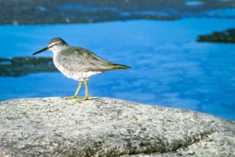 Alaska species birds Wandering Tattler