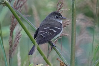 Birds from google Alder Flycatcher BIRDS