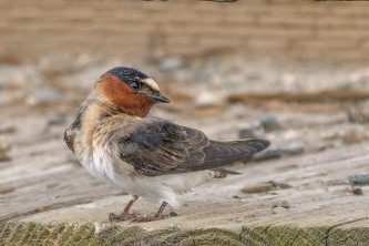 Birds from google Cliff Swallow 2019 Becky Matsubara BIRDS