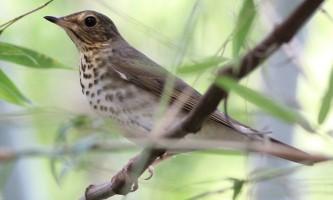 Birds from google Gray cheeked Thrush BIRDS