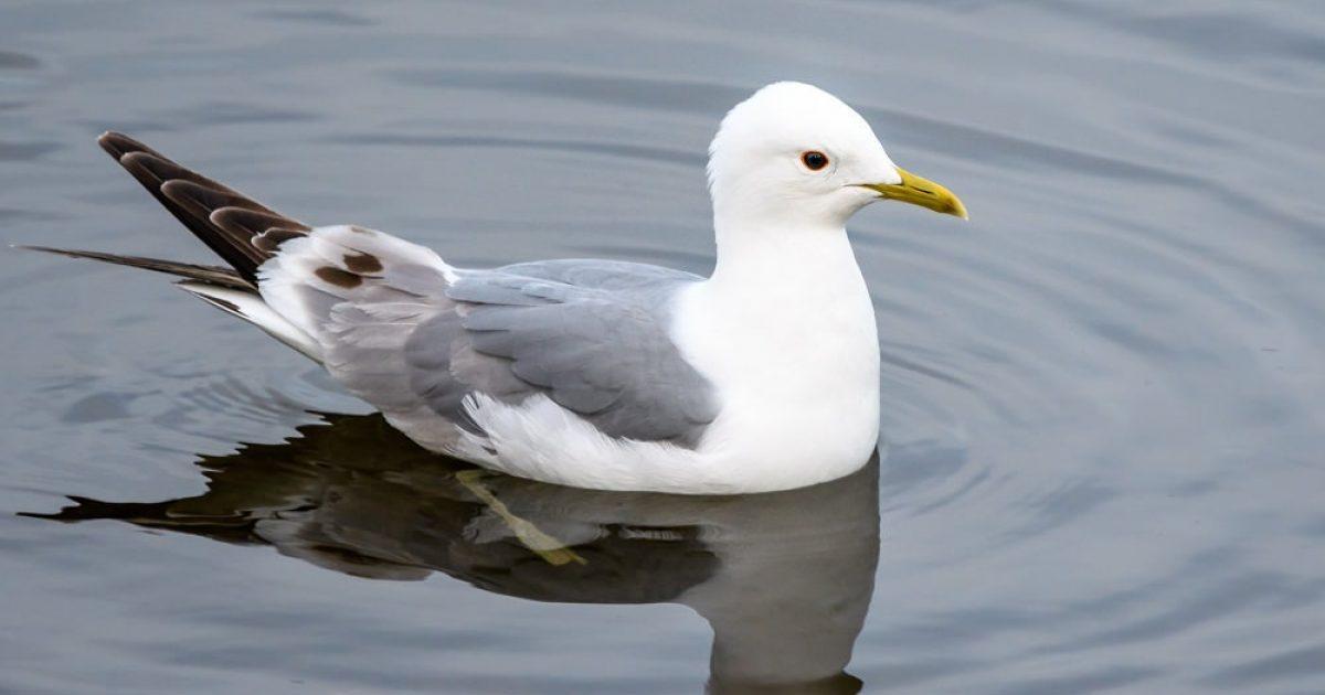 birds-from-google-Mew-Gull- - ...
